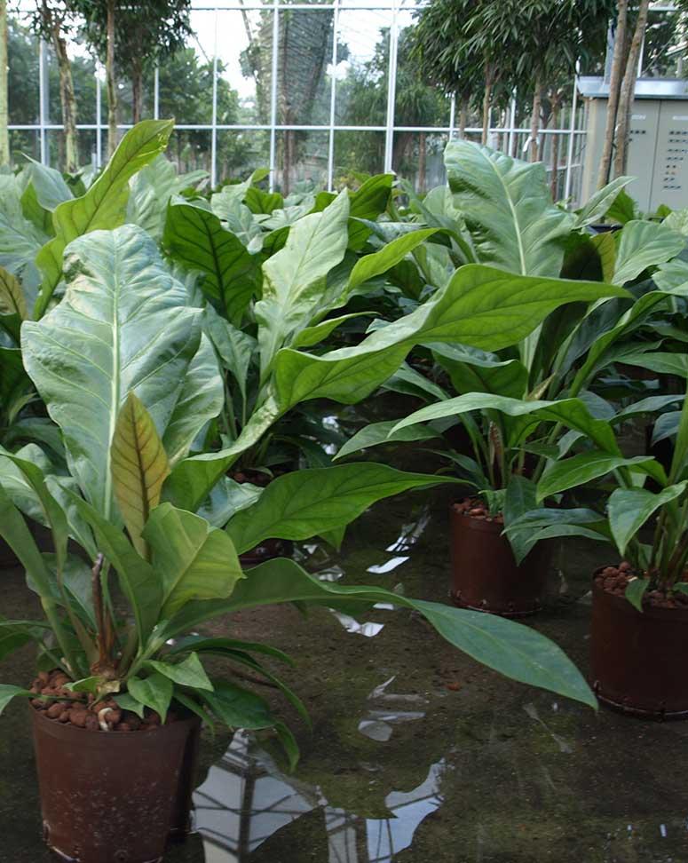Anthurium Büropflanze Hydrokultur, akzente raumbegrünung