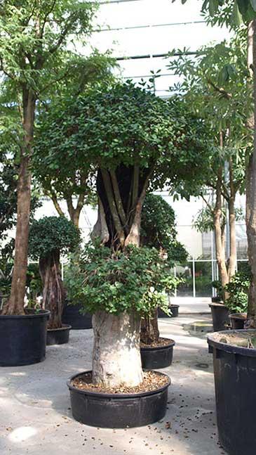 Begrünung Ficus, akzente raumbegrünung
