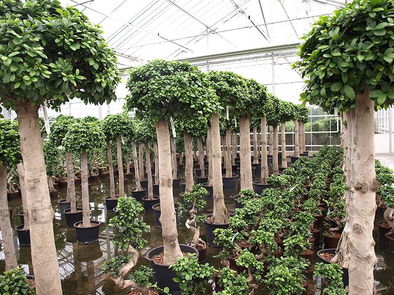 Ficus Begrünung, akzente raumbegrünung