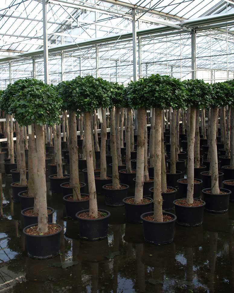 Ficus Panda Officebegrünung, Hydrokultur, akzente raumbegrünung