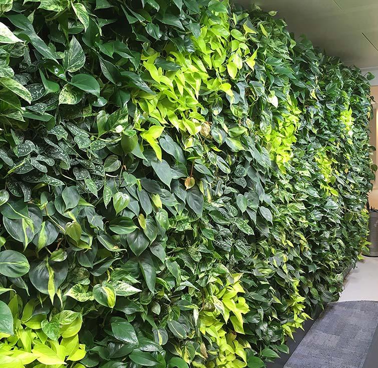 Wandbegrünung Büroflächen, akzente raumbegrünung