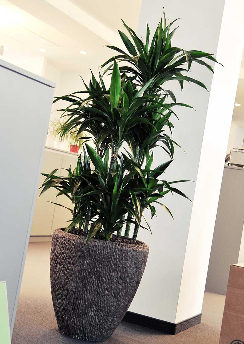 Pflanzkübel, Pflanzen Im Büro, akzente raumbegruenung