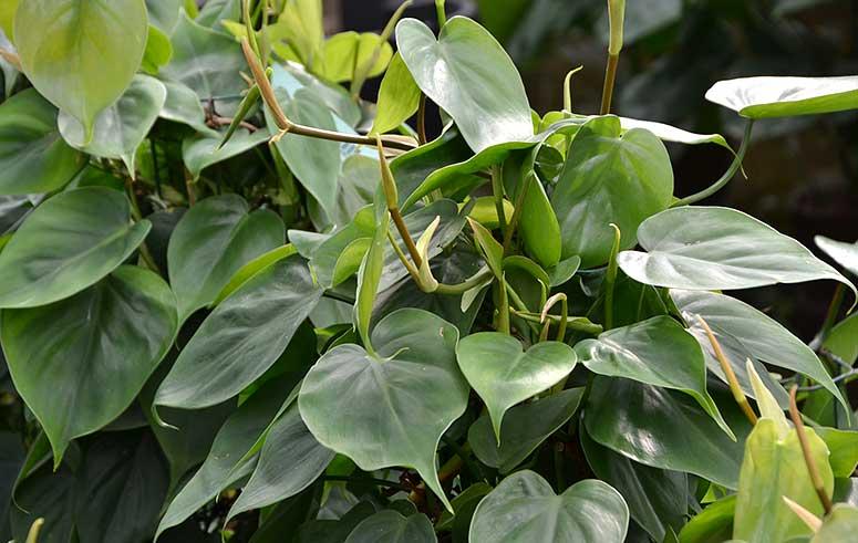 Philodendron Scandens, akzente raumbegrünung