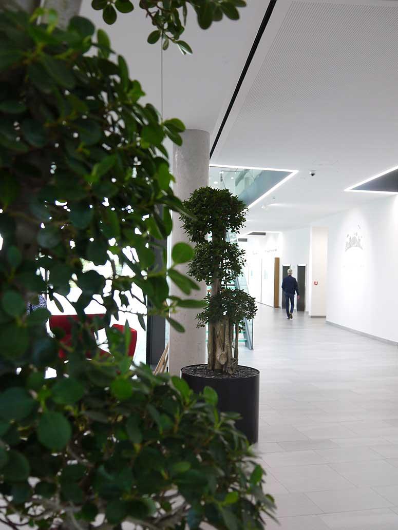 Objektbegrünung Ficus Bonsai, Empfang, akzente raumbegrünung