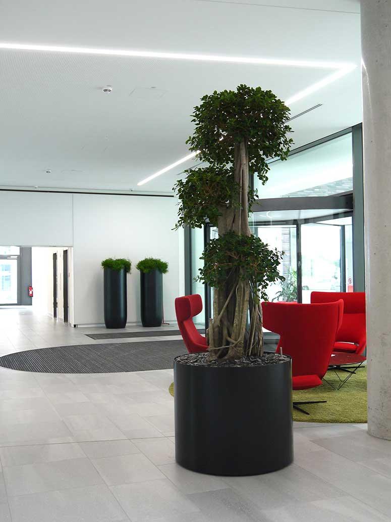 Foyer Empfang, Bonsai, Ficus, akzente raumbegruenung