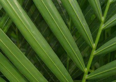 Areca lutescens