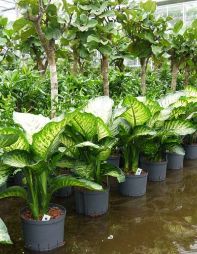 Dieffenbachia Maroba Hydrokulturpflanze Akzente Raumbegruenung