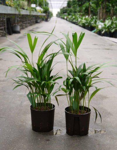 Hydrokultursystem Buerobegruenung Areca Hydropflanze Akzente Raumbegruenung