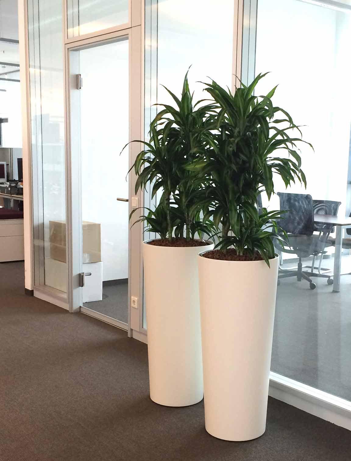 Pflanzvase mit Hydrokultur bepflanzt, Büropflanze Dracaena, akzente raumbegrünung