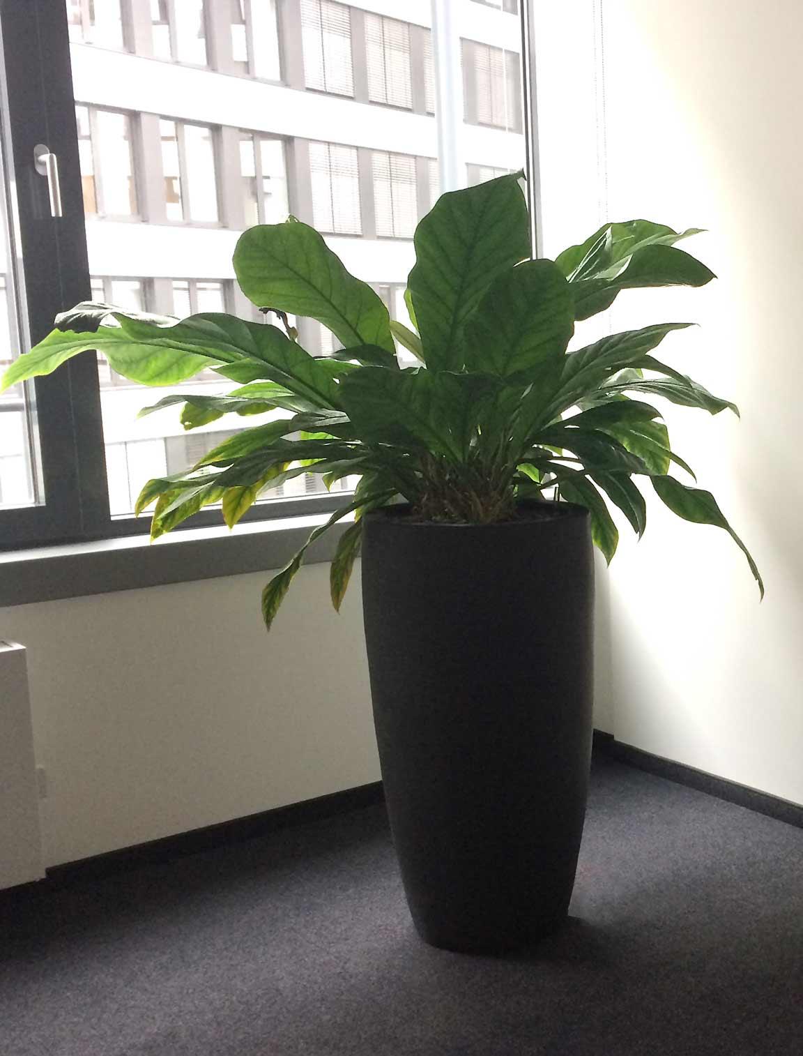Pflanzsäule aus Keramik für Hydrokultur, Büropflanze, akzente raumbegrünung
