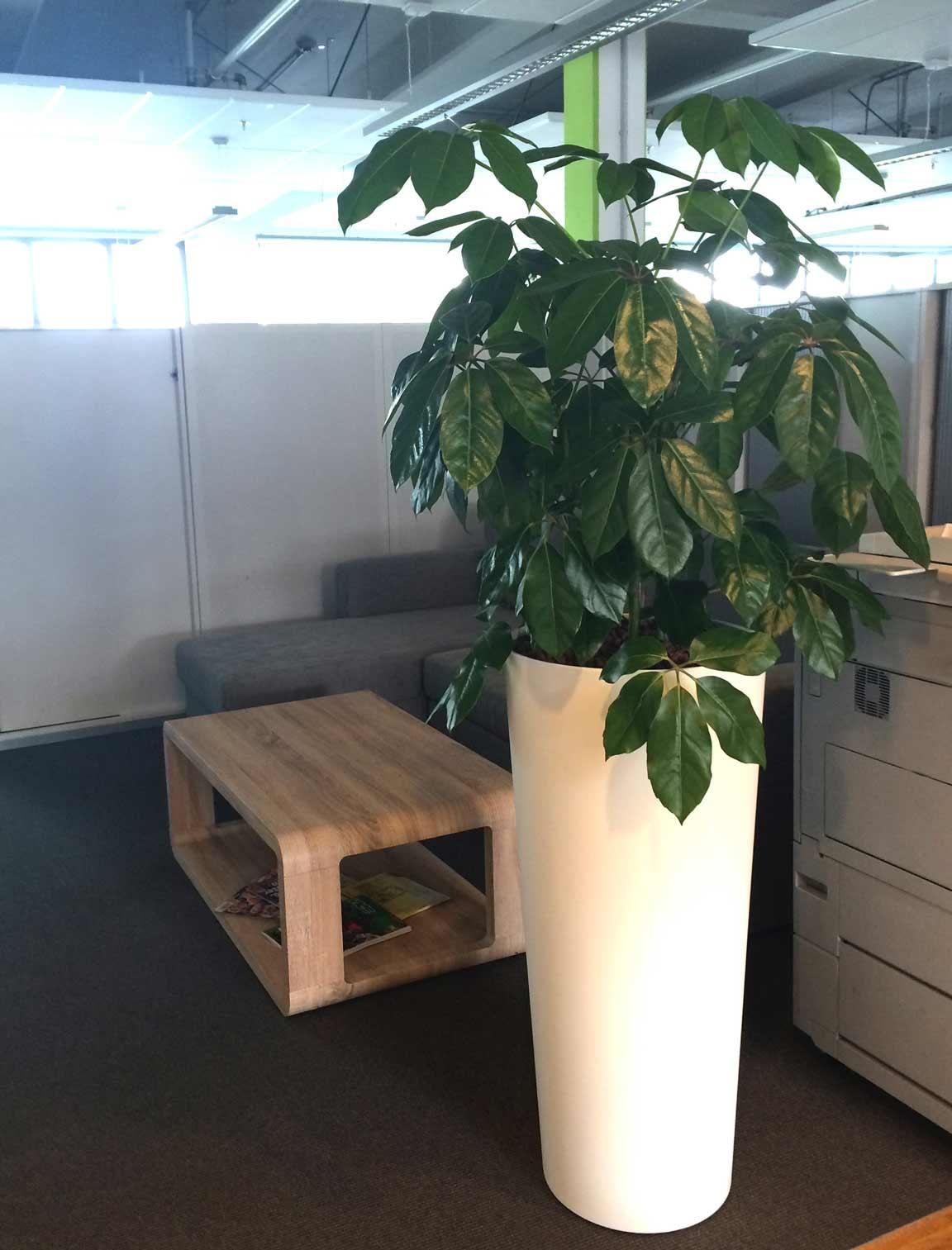 Pflanzvase mit Hydrokultur bepflanzt, Büropflanze Schefflera, akzente raumbegrünung