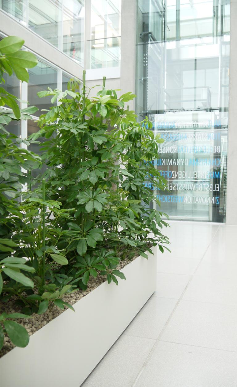 Pflanzbecken Hydrokultur Schefflera, akzente raumbegrünung