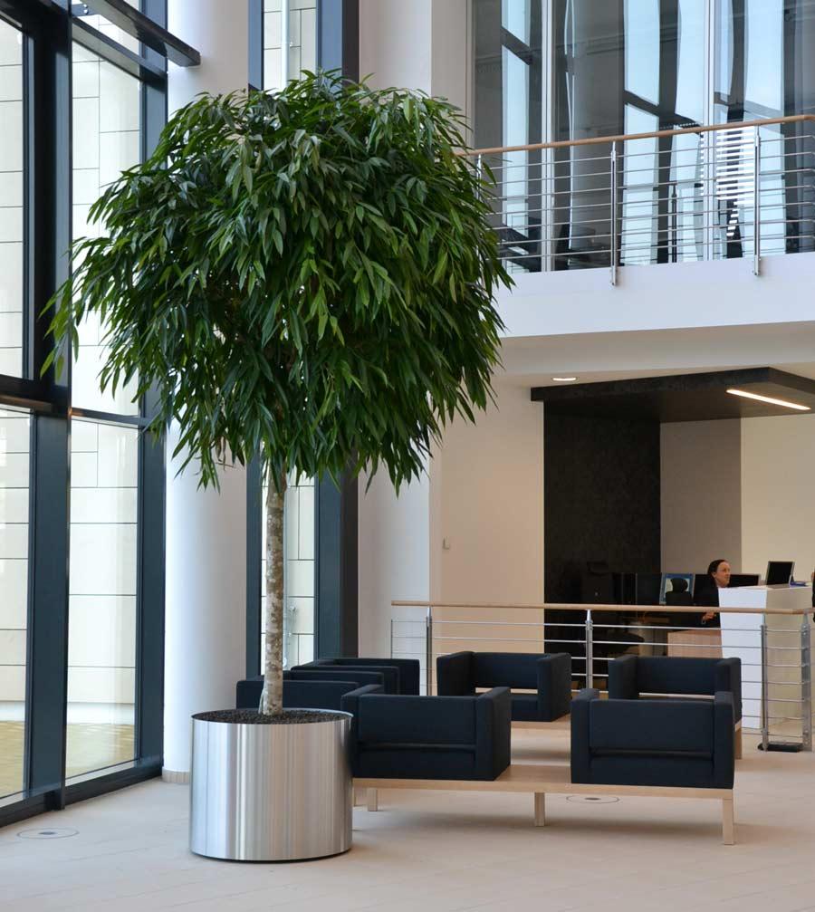 Große Ficusstamm im Edelstahlgefäß, Begrünung im Foyer in Essen