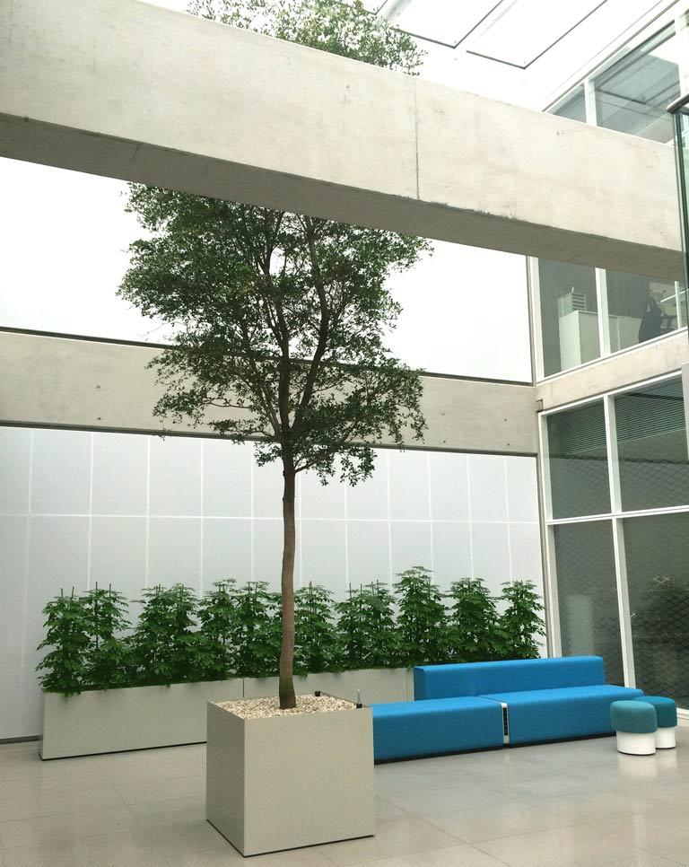 Foyer Großpflanze im Innenraum, Baum, akzente raumbegruenung