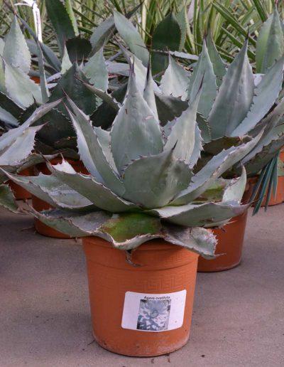 Agave Ovatifolia Erdpflanze Akzente Raumbegruenung