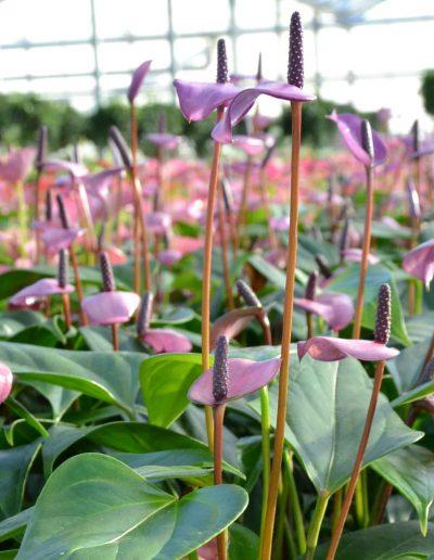 Anthurium Florino Hydrokultur akzente raumbegruenung