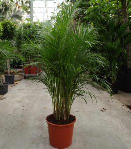 Palmen als dankbare Büropflanzen.