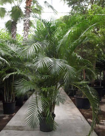 Areca Lutescens Palme Erdsystem Akzente Raumbegruenung