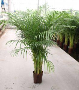 Die Areca Palme ist eine luftreinigende Pflanze im Büro.