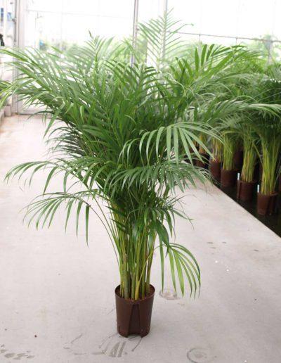 Areca Lutescens Palme Hydrokultur Akzente Raumbegruenung