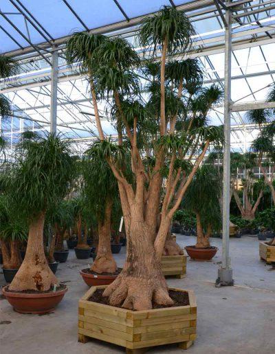 Beaucarnea Erdpflanze Elefantenfuss akzente raumbegruenung