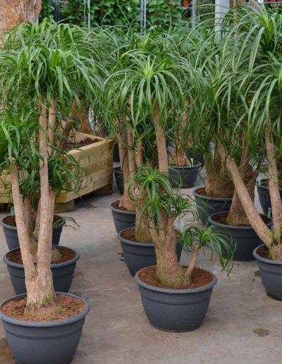 Beaucarnea Verzweigt Erdpflanze akzente raumbegruenung