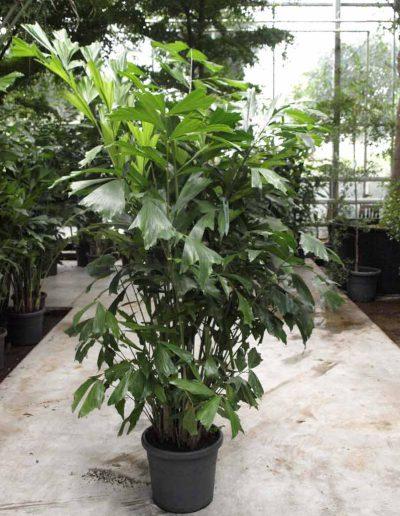 Caryota Palme Erdpflanze Akzente Raumbegruenung