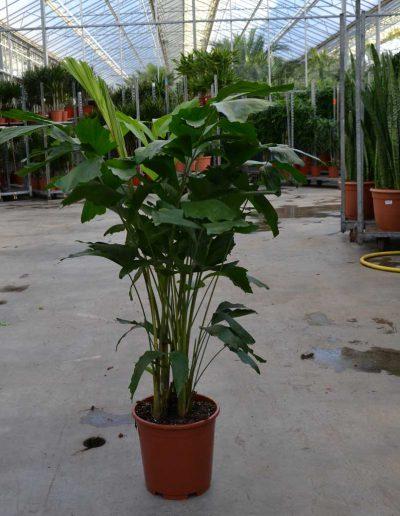 Caryota Mitis Palme Erdpflanze Akzente Raumbegruenung