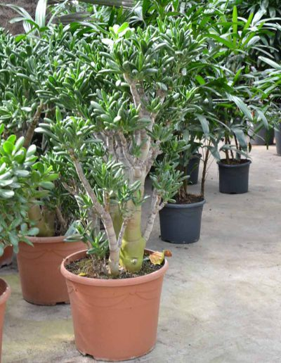 Crassula Gollum Erdpflanze Akzente Raumbegruenung