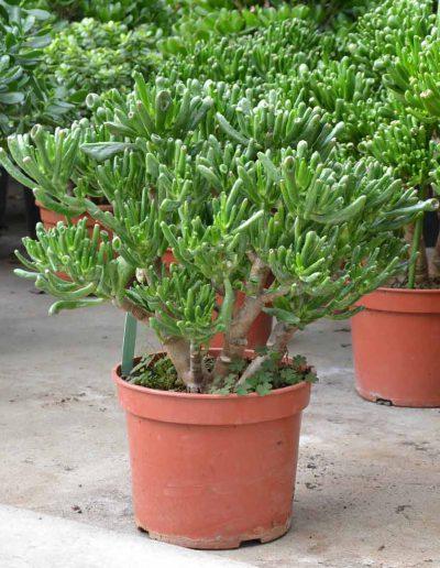 Crassula Horntree Erdpflanze Akzente Raumbegruenung