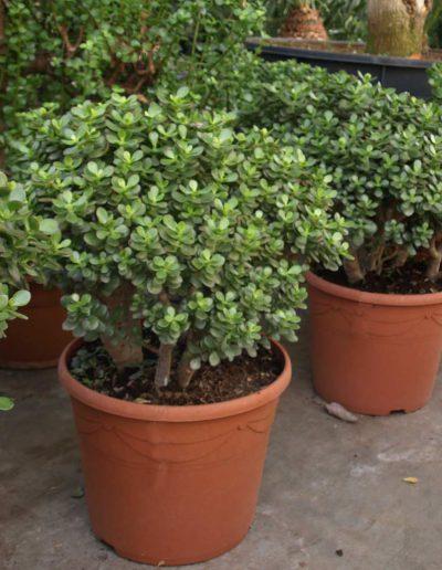 Crassula Ovata Minor Erdpflanze Akzente Raumbegruenung