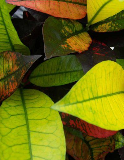 Croton Iceton Detail Hydrokulturpflanze Akzente Raumbegruenung
