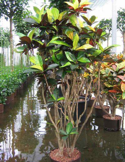 Croton Iceton Hydrokulturpflanze Akzente Raumbegruenung