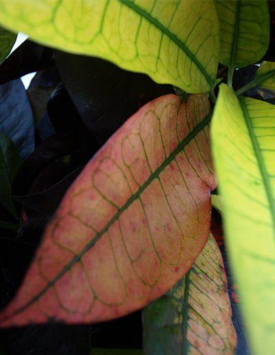 Croton Iceton Nah Hydrokulturpflanze Akzente Raumbegruenung