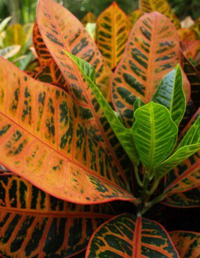 Croton Petra Detail Hydrokulturpflanze Akzente Raumbegruenung