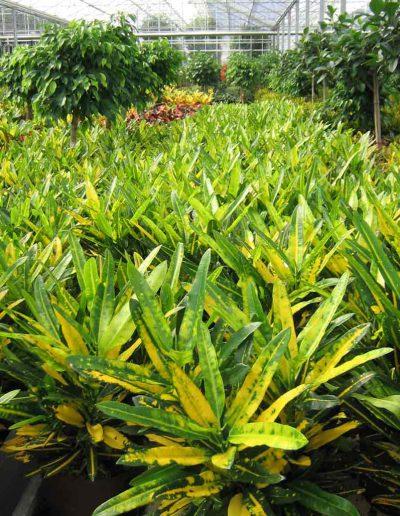 Croton Sunny Star Hydrokulturpflanze Akzente Raumbegruenung