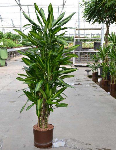 Dracena Cintho Hydrokulturpflanze Akzente Raumbegruenung