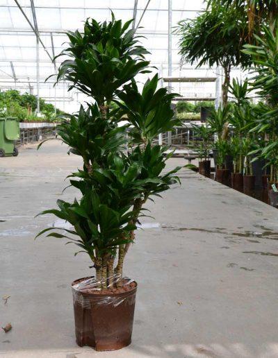 Dracena Compacta Verzweigt Hydrokulturpflanze Akzente Raumbegruenung