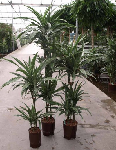 Dracena Deremensis Hydrokulturpflanze Akzente Raumbegruenung