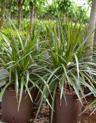 Dracena Marginata Hydrokulturpflanze Akzente Raumbegruenung
