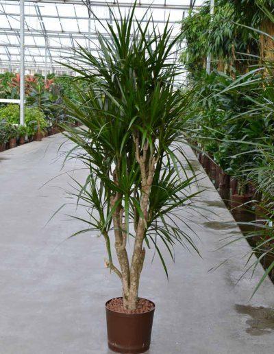 Dracena Marginata Verzweigt Hydrokulturpflanze Akzente Raumbegruenung
