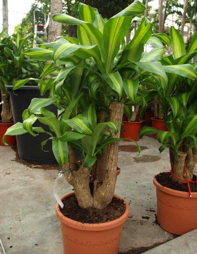 Dracena Massangeana Erdpflanze Akzente Raumbegruenung