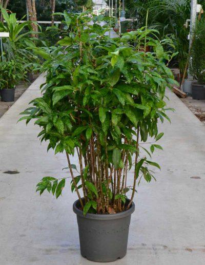 Dracena Surculosa Erdpflanze Akzente Raumbegruenung
