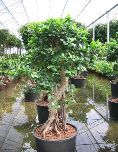 Ficus Bueropflanze Hydrokultur Akzente Raumbegruenung