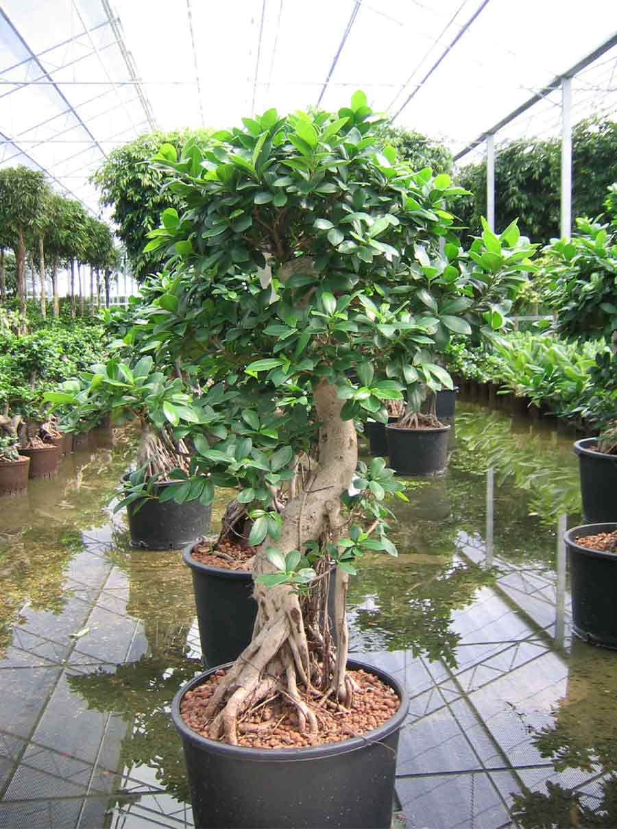 Ficus akzente raumbegr nung for Bonsai hydrokultur