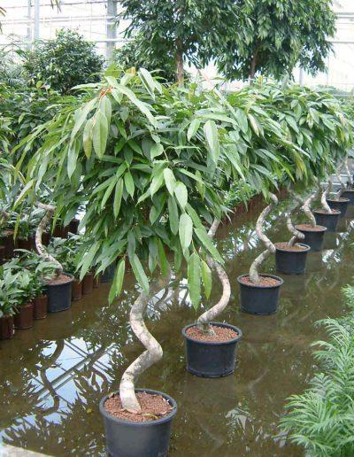 Ficus Stamm Bueropflanze Hydrokultur Akzente Raumbegruenung