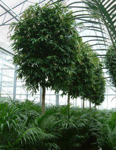 Ficus Amstel King Stamm Buerobaum Hydrokultur Akzente Raumbegruenung