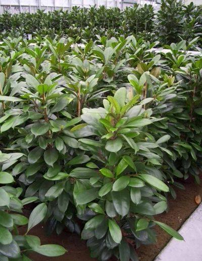 Ficus Cyathistipula Bueropflanze Hydrokultur Akzente Raumbegruenung