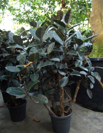 Ficus Elastica Burgundy Bueropflanze Zimmerpflanze Akzente Raumbegruenung