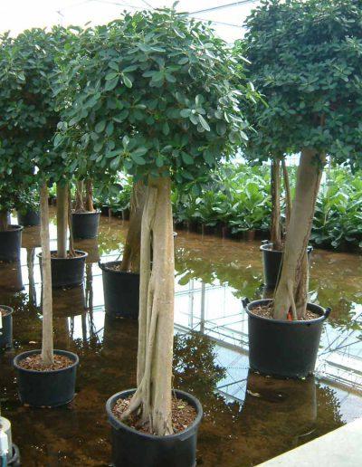 Ficus Panda Stamm Bueropflanze Hydrokultur Akzente Raumbegruenung